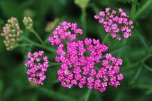 Yarrow Pink Flowers In The Garden