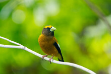 Evening Grosbeak In Idaho On A...