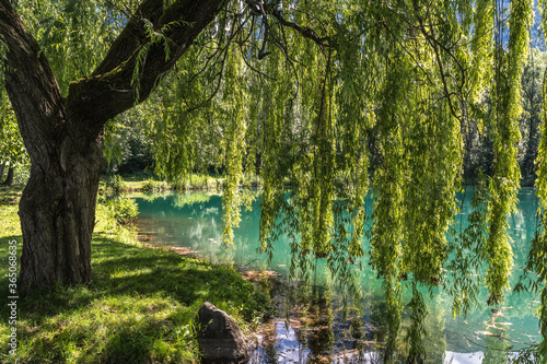 Slika na platnu Spring Weeping Willow Tree near The Falschauer Creek in the Ulten Valley in South Tyrol