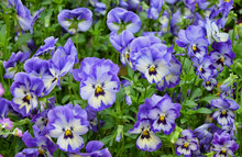 The Garden Pansy Is A Type Of Large-flowered Hybrid Plant  In The Section Melanium Of The Genus Viola, Particularly Viola Tricolor, Is A Wildflower Of Europe And Western Asia Known As Heartsease