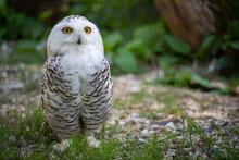 Snowy Owl Big Eyes