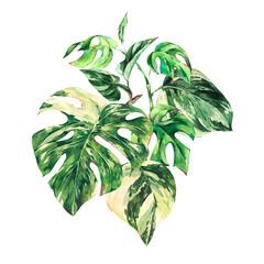 Fototapeta Vintage Watercolor summer tropical green leaves greeting card. Monstera Variegated