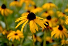 Black Eyed Susan Flowers In Th...