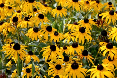 Fototapeta Black Eyed Susan daisies in the garden