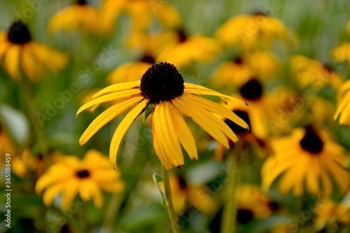 Fotografia, Obraz Black Eyed Susan flowers in the garden