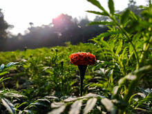 Tagetes Is A Genus Of Annual O...