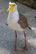 A Masked Lapwing Closeup Image. It S A Large, Common And Conspicuous Bird Native To Australia, Particularly The Northern And Eastern Parts Of The Continent, New Zealand And New Guinea.