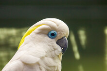 The Blue-eyed Cockatoo (Cacatua Ophthalmica) Is A Large, Mainly White Cockatoo With A Mobile Crest, A Black Beak, And A Light Blue Rim Of Featherless Skin Around Each Eye.