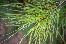 Image Coniferous Branch.