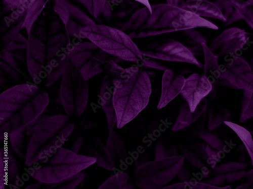 Beautiful abstract color blue and purple flowers on dark background and purple graphic pink flower frame and pink leaves texture, purple background, colorful graphics banner, purple leaves #365147660