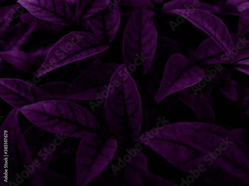 Beautiful abstract color blue and purple flowers on dark background and purple graphic pink flower frame and pink leaves texture, purple background, colorful graphics banner, purple leaves #365147679