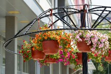 Composition Of Lush Ampelous Calibrachoa In Hanging Pots In The