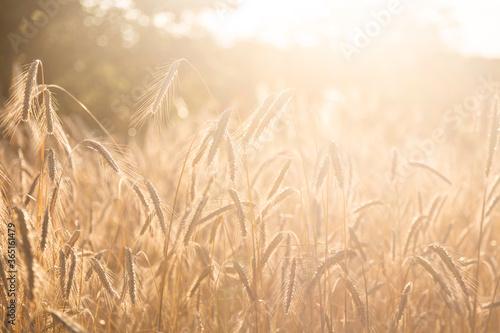 Valokuvatapetti Feld in der Abendsonne