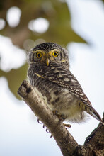 Portrait Of A Collared Owlet