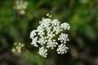 Common burnet saxifrage