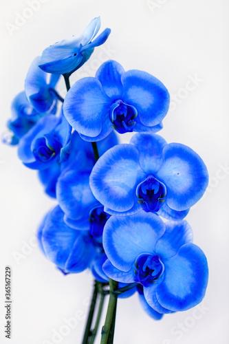 Fototapety, obrazy: Macro shot of dye-treated orchid flowers named