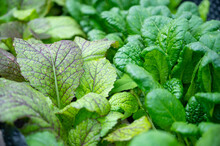 Salad Plants In Detail Fresh G...