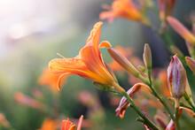 The Orange Daylily (Hemerocall...