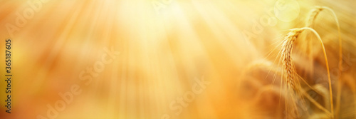Photo Ripe wheat ears with golden sunbeams Ripe wheat ears with golden sunbeams