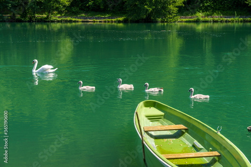 Photo Swans on the Adda river at Imbersago