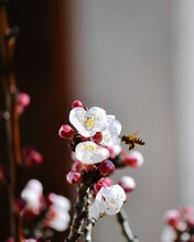 Close-up Of Bumblebee On Cherry Blossom