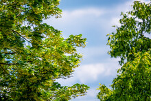 Green Crowns Of Linden Trees W...