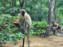 Green Monkey In The Trees In B...
