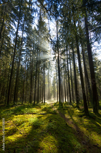 Fototapeta Waldlichtung  im Gegenlicht obraz