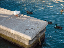 Concrete Port With Hungry Ducks And Other Birds.