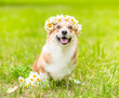 canvas print picture - Happy Pembroke welsh corgi puppy wearing wreath of daisies sits on green summer grass with bouquet