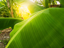 Banana Leaves Are Growing In T...