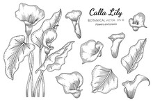Set Of Calla Lily Flower And Leaf Hand Drawn Botanical Illustration With Line Art On White Backgrounds.