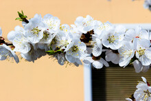 White Flowers And Buds Of An Apricot Tree In Spring Blossom