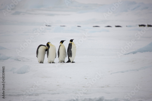Photographie Antarctica emperor penguin in its environment on a cloudy winter day
