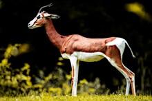 Una Gacela En Estado Natural