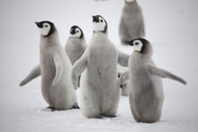 Antarctica Emperor Penguin Chi...