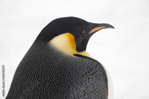 Fotomural Antarctica portrait of an emperor penguin close up on a cloudy winter day