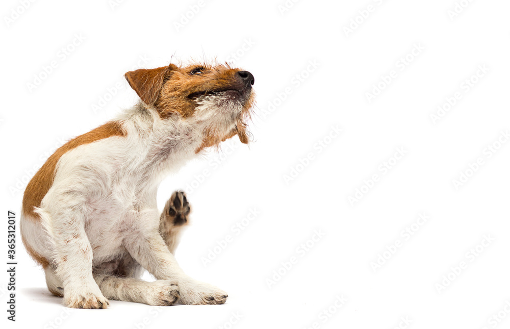 dog scratching paw from allergies and fleas on a white background
