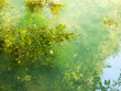 canvas print picture - Algues en surface de l'eau