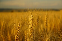 Large Wheat Field In The Summe...