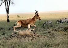 Antelope Running On The Green ...