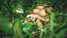 Closeup Photo Of The Desert Tortoise, Is A Species Of Tortoise Native To The Mojave And Sonoran Deserts Of The Southwestern United States And Northwestern Mexico