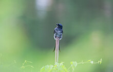 A Wild Bird On The Bamboo  At ...