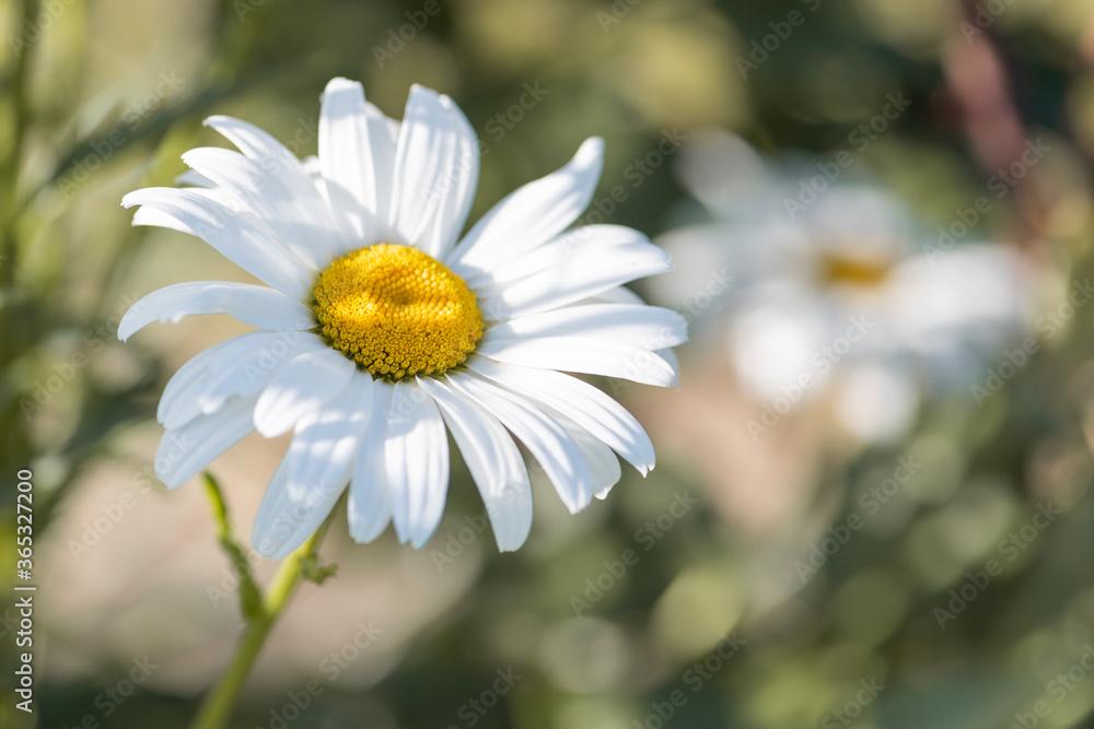 Fototapeta White flowers (Leucanthemum vulgare Lam., ox-eye) in the meadow