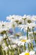 White flowers (Leucanthemum vulgare Lam., ox-eye) in the meadow