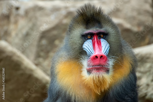 Tela Portrait of a male mandrillus monkey