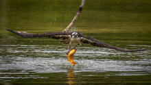 Osprey Diving In For A Fish Meal