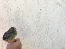 Baby Bird Sits On A Fist Against A Background Of Plywood