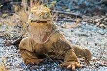 Galapagos Land Iguana Conolophus Subcristatus Isabela Island Galapagos Islands Ecuador