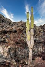 Candelabra Cactus Jasminocereu...